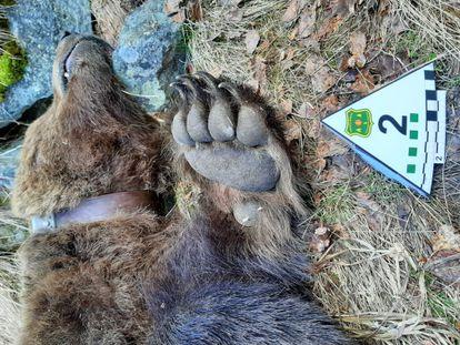 Cadáver del oso 'Cachou'.