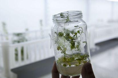 Ensayos con semillas transgénicas en la empresa biotecnológica argentina Bioceres, en Rosario.