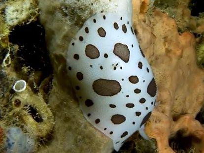 Una especie de nudibranquio.