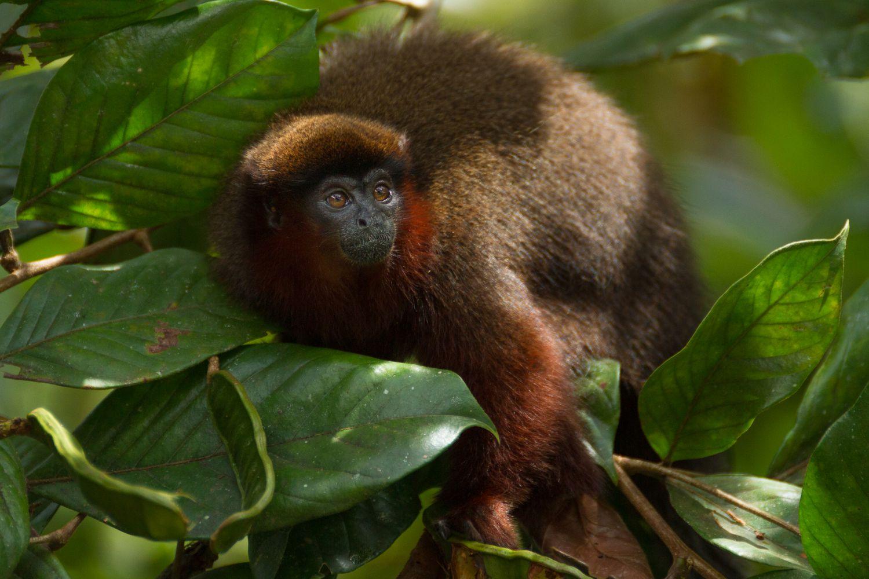 Los monos tití de la selva amazónica se alimentan de frutas, hojas e insectos.