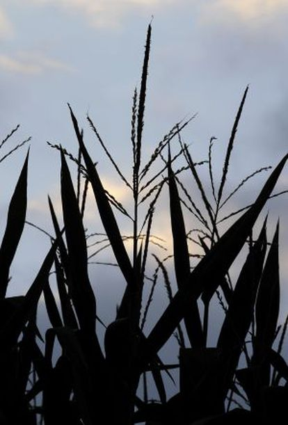 El maíz es uno de los cultivos más afectados por la sequía en EE UU.