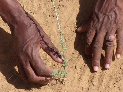 Un pastor revisa plantaciones que beneficiarán al ganado, en la localidad senegalesa de Mbar Toubab.