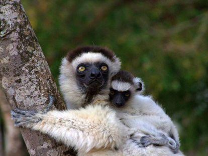 Los primates de tamaño medio, como estos sifaca de Verreaux, están entre las especies más perseguidas por los cazadores.