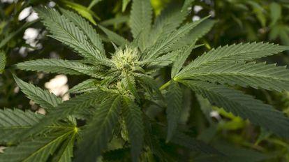 Un planta de marihuana en San Luis Obispo, California