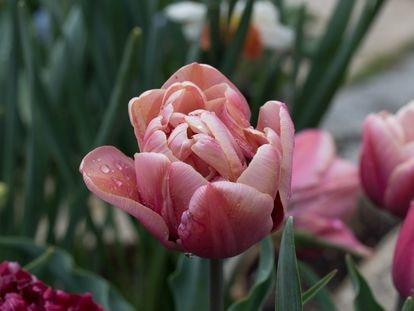 Uno de los tulipanes del jardín de Ángeles Piñeiro, jardinera aficionada.