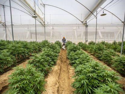 Plantas de cannabis en un invernadero en Pesca, Colombia, donde ya está permitido ese cultivo.