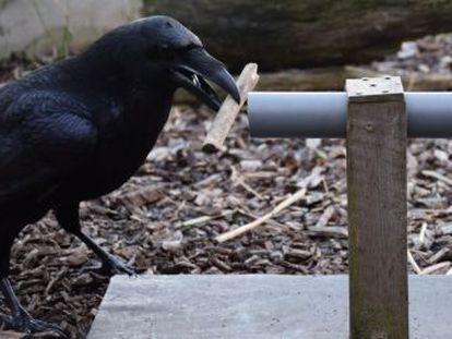 Los logros de estas aves despiertan importantes cuestiones sobre la evolución de la inteligencia