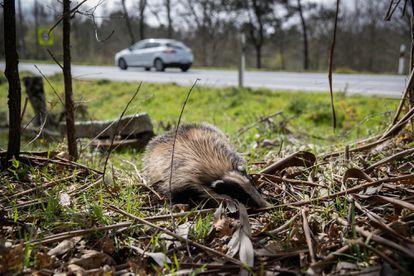 Un tejón muerto a un costado de la carretera N-541 a su paso por Boborás (Ourense).