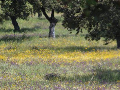 Pastos en una dehesa de Andalucía.