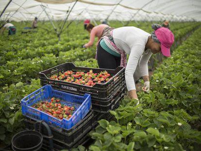 Trabajadores de la empresa Flor de Doñana recogen fresas.
