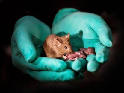 Un ratón nacido de dos madres (a la izquierda) ha llegado a ser un adulto sano y tener su propia descendencia (a la derecha).