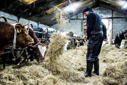 Un hombre alimenta a la vaca 'Hermien' (izquierda), en una granja de Holanda.