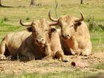 Dos ejemplares de la ganadería de Prieto de la Cal.