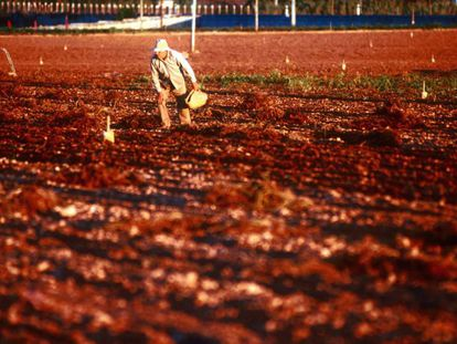 un campesino mallorquín siembra la tierra.
