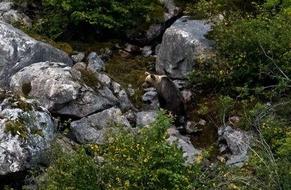 Una osa en el Parque Natural de Somiedo (Asturias).