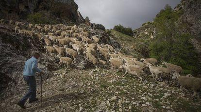 Daniel García, con el rebaño de ovejas, sube por la Sierra de Segura, en Jaén.