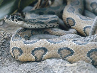 Un krait común, serpiente venenosa de la familia 'Elapidae'.