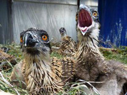 Pollos de águila pescadora procedentes de Alemania.