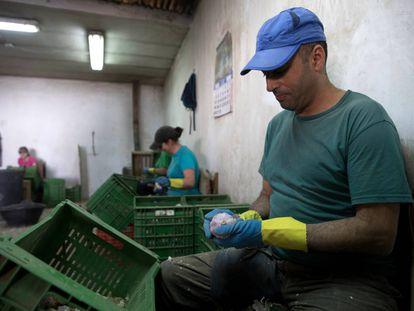 Varios operarios pelan ajos en una explotación.