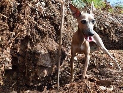 La perra 'Blume', junto a restos de la supuesta sauna descubierta en el castro da Maradona.