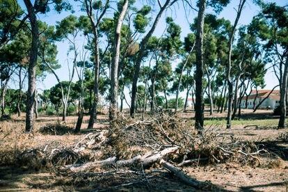 Árboles y ramas se parten este jueves en un pinar cerca del Parc de las Cruces, en Alush.