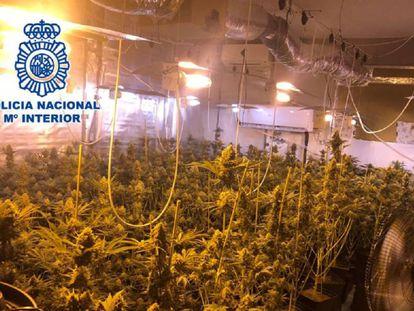 Plantación de marihuana por la que ha sido detenido el concejal del PP, Manuel Palma.