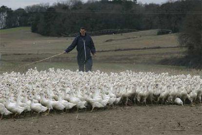 Un campesino agrupa a los patos para llevarlos a la vacunación en una granja de Las Landas (Francia).