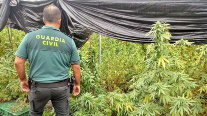 Agente de la Guardia Civil junto a una plantación de marihuana, en una imagen de archivo.
