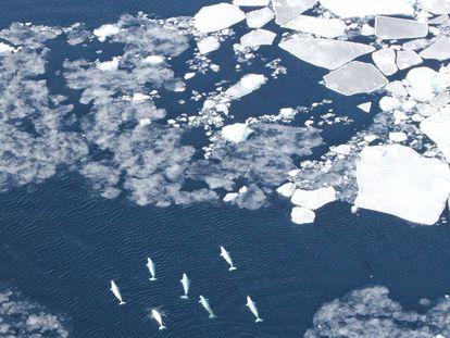 Las rutas migratorias de muchas belugas se cruzan con las rutas de los barcos.