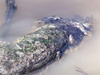 Cadáver de lince ibérico encontrado en el caño Guadiamar, en Huelva.