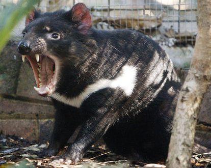El cáncer está aniquilando a los demonios de Tasmania