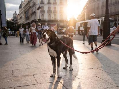 Un mastín en la Puerta del Sol (Madrid).