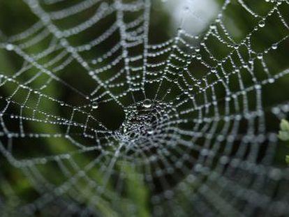 Un grupo internacional de investigadores crea un sistema para producir tela de araña, un tipo de seda que se podría utilizar para hacer chalecos antibalas o reconstruir tendones