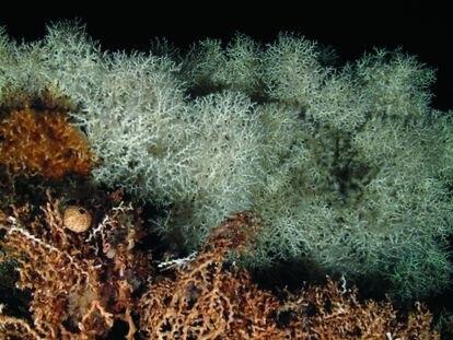 Corales en el arrecife del banco de Cabliers.