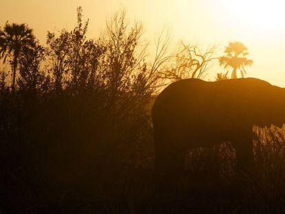 Un elefante africano camina sólo.