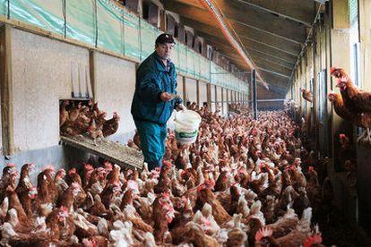 Un granjero alimenta a las gallinas en una planta en Elstorf (Alemania).