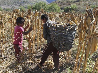 Dos niños trabajan en la cosecha de maíz en el año 2017, en Zitlala, Guerrero.