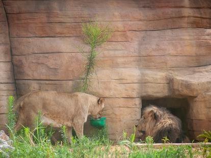 Una de las leonas junto al león en el Zoo de Barcelona