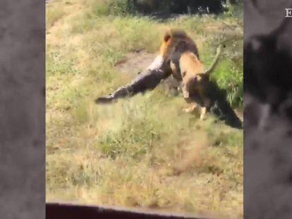 El león 'Shamba' ataca a su dueño en un refugio de animales de Sudáfrica.