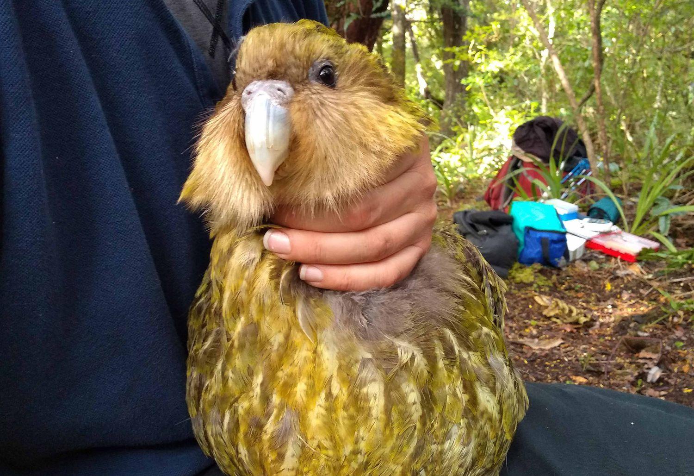 Un kakapo, una especie de Nueva Zelanda en peligro de extinción.