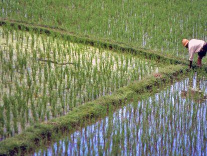 Cultivo de arroz en Indonesia.