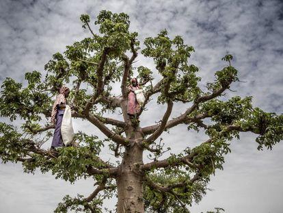Dos niñas trepan a un árbol baobab mientras buscan hojas para cocinarlas en la aldea de Malamawa, en Níger.
