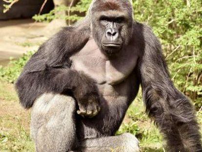 El primatólogo Frans de Waal cree que el gorila sacrificado después de que un niño cayera en su foso tenía un actitud  principalmente protectora
