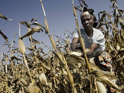 Una mujer cosecha maíz en República Democrática del Congo.