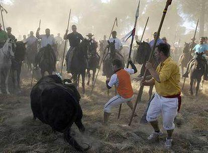 Durante el Toro de la Vega de Tordesillas (Valladolid) los hombres llevan al animal a campo abierto, donde lo alancean.