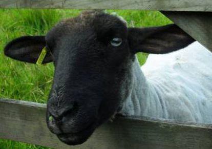 El cliente escoge una cabra de entre las siete disponibles.Cada cabra tiene no sólo su nombre sino también su personalidad.