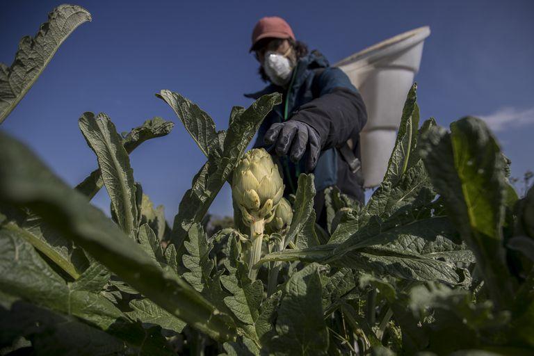 Ferran Berenguer, de la empresa Cal Roset, recoge alcachofas protegido con mascarilla, en su huerto del Parc agrari del Baix Llobregat.