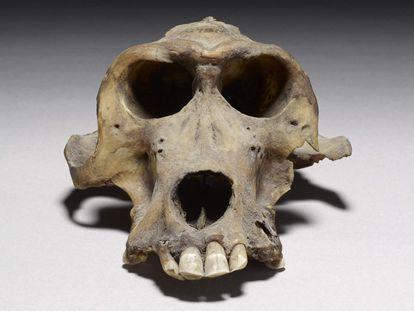 Uno de los cráneos de babuino de hace 3.300 años que ayudaron a determinar la ubicación del reino de Punt. / Museo Británico.