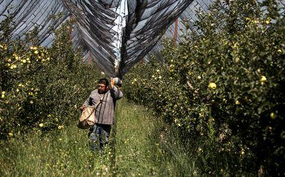 Un campesino trabaja en un cultivo de manzanas en una granja de Saltillo (México).