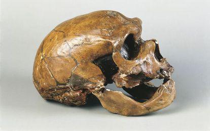 Cráneo de 'Homo neanderthalensis'.